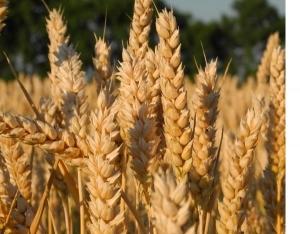 Семена озимой тритикале