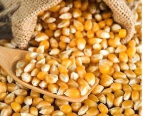 Семена кукурузы импортные