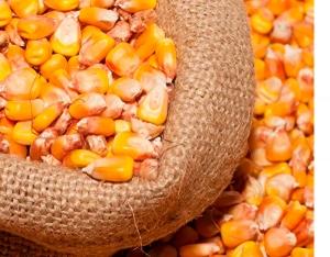 Семена кукурузы российские