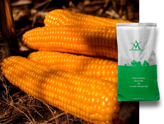 Семена кукурузы Берта