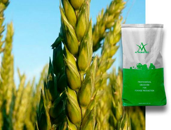 Пшеница озимая Московская 39, 40, 56