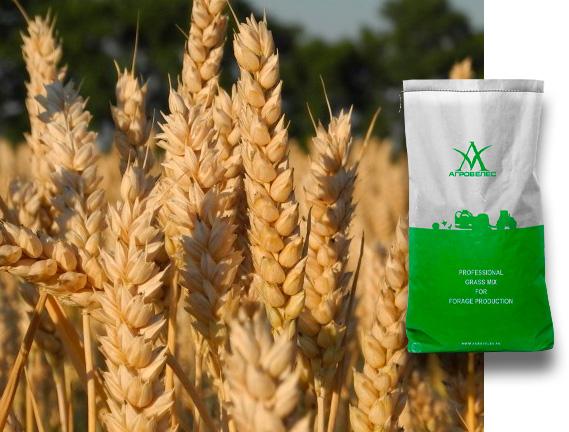 Пшеница озимая Льговская 4, 8
