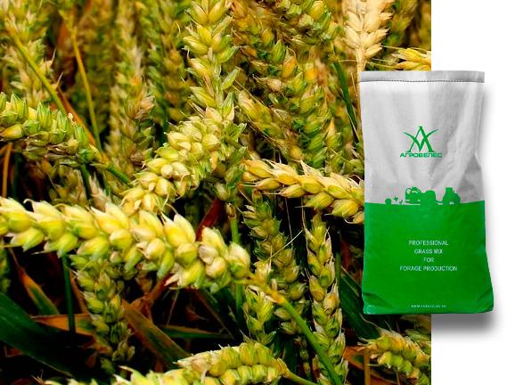 Пшеница озимая Алексеич